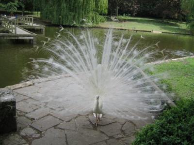 whitepeacock.jpg