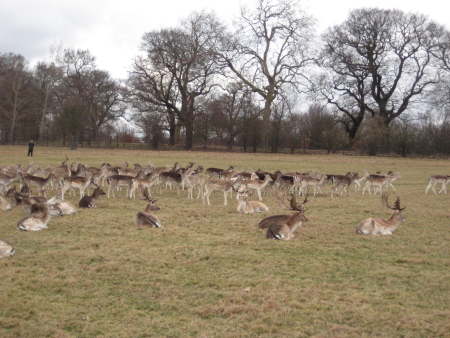 richmondparkdeer.jpg